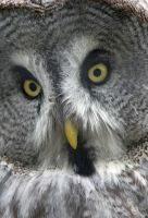 Voicey - Great Grey Owl by Steve-FraserUK