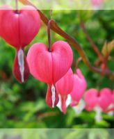Dicentra Spectabilis - IV by froggynaan