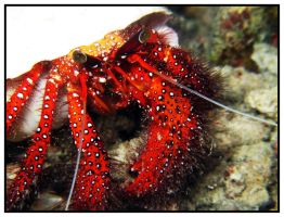 White-spotted hermit crab 6 by furryboy80