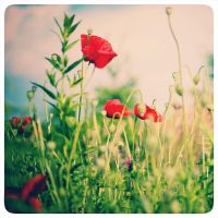 poppies by nicolehinrichs