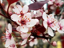 Pink Blossoms by GUDRUN355