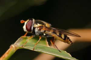 Hoverfly by troypiggo