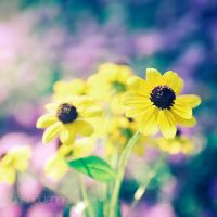 daisy days by onixa