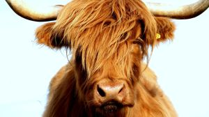 Extremely Fluffy Highland Cow by TheJessPaige