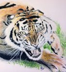 Angry Tiger by lifanonline