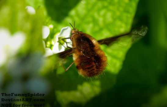 Large Bee-Fly - Bombylius major by TheFunnySpider