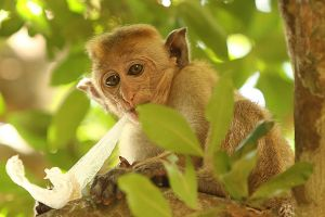 Macaque by kontiki1