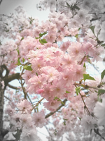 Pretty Pink Cherry by theblindalley