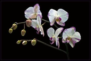 MOTH ORCHIDS 319 by THOM-B-FOTO