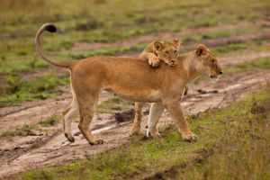 African Lion 103 by catman-suha