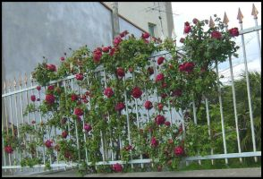 gate with roses by Pollon82