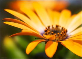 Orange Macro Flower by joelht74