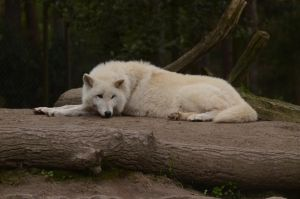 Arctic Wolf 19 by Lakela