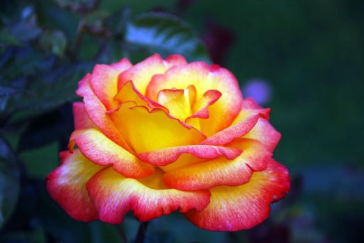rose garden by Aishlling