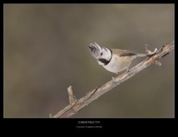 Crested Tit by ClaudeG