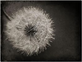 Blowing dandelions... by ansdesign