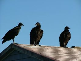 Vultures 001 by TheGreatWiseAss