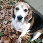 Beagle Dreams (poem) by GUDRUN355