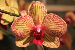Yellow Pink Orchid by CASPER1830