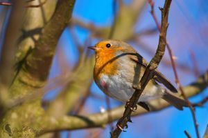 European robin by PhotoDragonBird