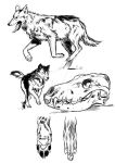Wolf Study #0 by CassDoubleME