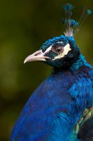 Peacock 01 Stock by lokinststock