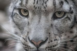 Snowleopard, KA XIII by FGW-Photography