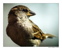 Sparrow by fromantis