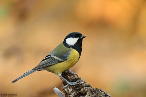 Parus major by RichardConstantinoff