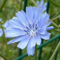 Blue flower 2 by TinyWild