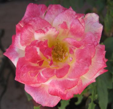 Rose 061414 03 by acurmudgeon
