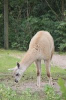 Guanaco 4 by Chance-STOCK