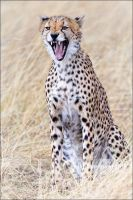 Snarling Cheetah by MrStickman
