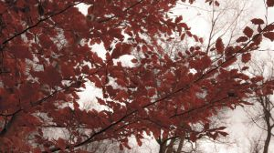 Bloody Red Leaves by shantasphotos