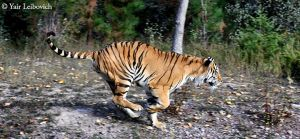 running tiger by Yair-Leibovich