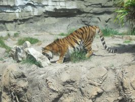 Stock: Tiger Eating by equizotical