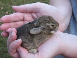 Baby Bunny 2.:Stock:. by SparrowsFlame-Stock