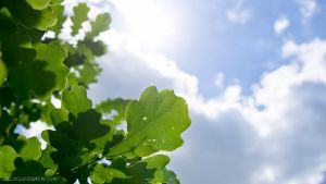 oak leaves by SzczyglY