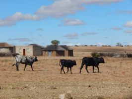 South Africa Series-Cows by maromichan