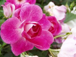 .stock: pink rose. by guavon-stock