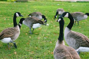 Canadian geese meeting :) by ElettraGemma