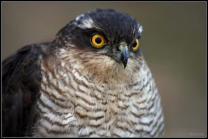 Sparrowhawk 2 by cycoze