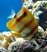 Beaked Coral Fish by gee231205