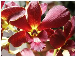 Another Orchid by eosthilas