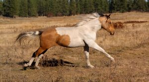 Buckskin Tovero Gallop by Valarian-Warrior