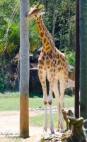 Giraffe 02 by Indefinitefotography