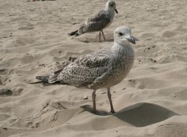 Beach birds :) by VlinderButterfly