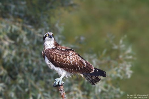 Osprey by RichardConstantinoff
