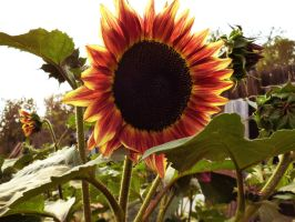 Sunflower by TimeCollector