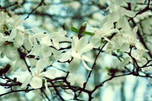 white magnolia by anyeah
